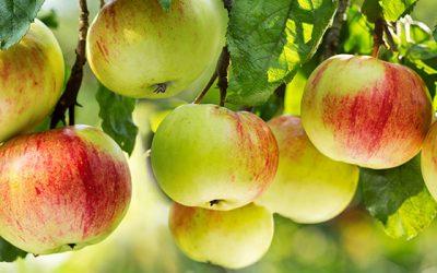 Apfelernte und Apfelbaum