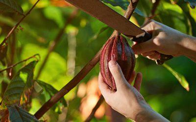 Vom Kakao zur Schokolade