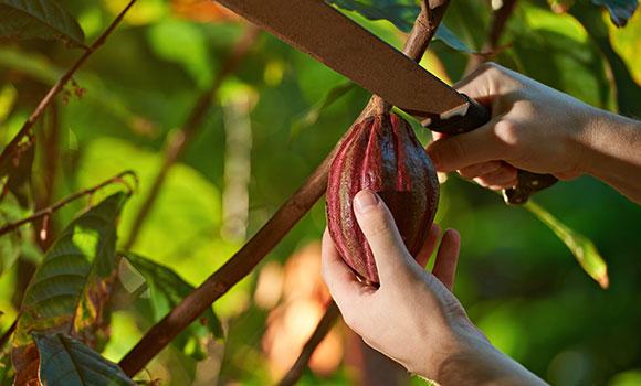 Arbeitsblätter Kakao