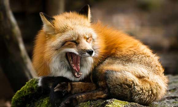 Waldtiere: Fuchs