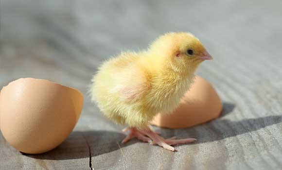 Vom Ei zum Küken